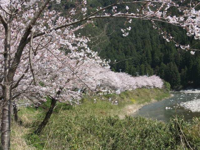 桜・・・満開です。