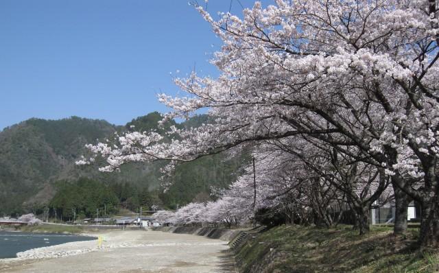 桜 満開 ?・・・大野