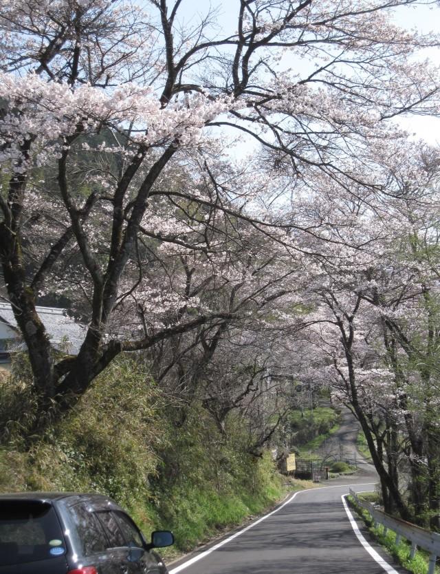 桜 満開 ?・・・下菅谷