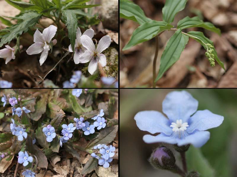4月29日高賀山登山で見た山の花(5)