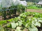 洞戸の野菜