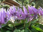 タカクリの花