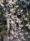 蓮華峯寺の枝垂れ桜