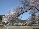 桜 満開 ?・・・洞中〜柿野川