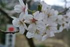 高賀蓮華峯寺の桜