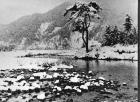 柳島の大松