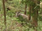 洞戸の山中で出会ったカモシカさん