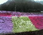 洞戸春の名物 芝桜